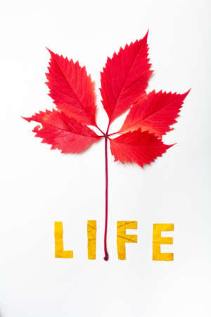 life. Letters cut from a yellow maple leaf on a white background close-up. Above him is a branch of red leaves 写真素材
