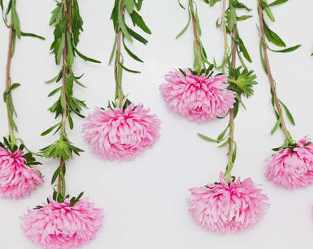 row of pink chrysanthemums is located on a white background at different heights. Archivio Fotografico