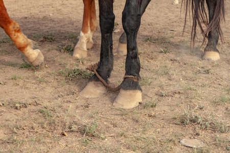 Hobbled the hors. A rope was put on the forelegs of a black horse. Restriction of freedom of movement 版權商用圖片