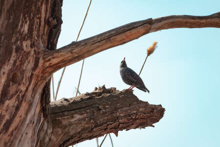 Starling on a branch. A beautiful starling bird starling sits on a thick branch of a dried tree on a spring day. Dry reeds in the back