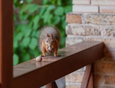Squirrel on the veranda. Red squirrel with a fluffy tail sits on the wooden railing of the veranda and sniffs a walnut