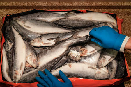 Sea catch. Frozen herring lies evenly. Rubber-gloved hands hold a sharp knife from above. 写真素材