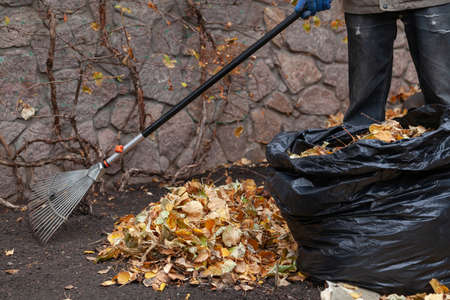 fan rake on a long handle collects fallen yellow leaves in a pile in front of a stone fence. Near a black bag