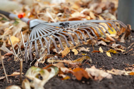 Steel fan rakes lie on autumn chernozem closeup. Around lie fallen birch leaves. Front view
