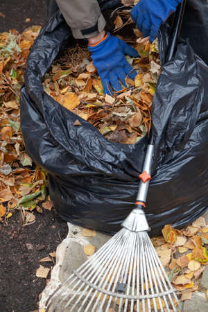 Autumn work in the garden. Hands in blue gloves are tamping the fallen leaves in a large plastic bag. Nearby are a rake
