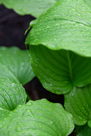 After the rain. Beautiful drops of water on the juicy green leaves of the host plant Zdjęcie Seryjne