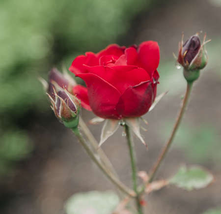 Beautiful red rose on a green background close-up Zdjęcie Seryjne