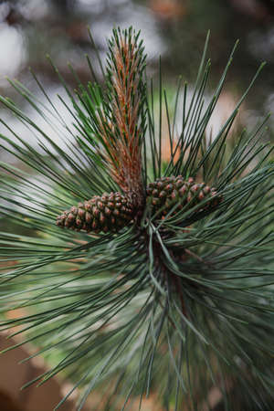 Two young cones growing on a vertical branch of a pine tree with long green needles