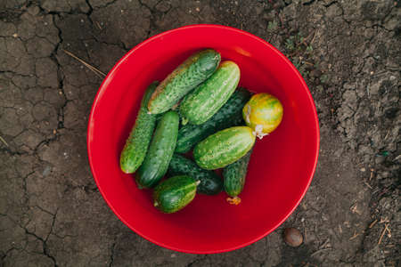 Several ripe cucumbers lie in a heap in a red plastic bowl standing on the ground in the garden Zdjęcie Seryjne