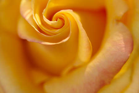 Beautiful yellow rose bud with spiral delicate petals close-up