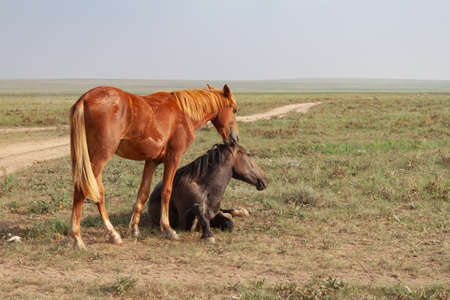 Tenderness in horses. The bay horse lies in the steppe. Nearby, a red horse tries to hug her