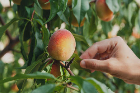 Early fruit harvest. Man's hand holds a tree branch with ripe peaches