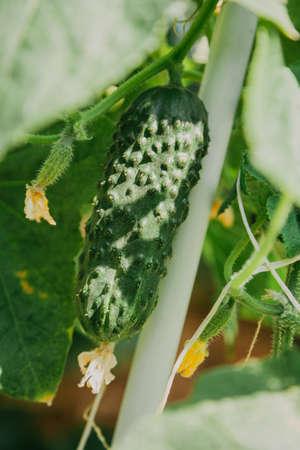 Green ripe fresh cucumber grows among green leaves