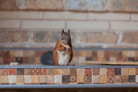 Protein and bread. Red squirrel with a white tail sits against a brick wall and gnaws a piece of bread