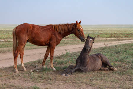 Tenderness in horses. The bay horse lies in the steppe. Nearby, a red horse bites her
