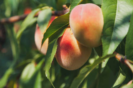 Harvest of peaches. Three appetizing ripe peaches weigh on a vertical branch with green leaves