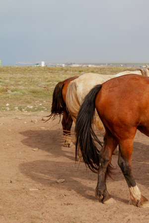 groats of three horses with luxurious long tails are standing on the ground against a gray sky