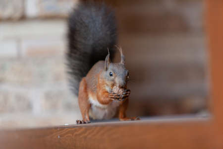squirrel is gnawing a nut. Red squirrel with a black fluffy tail sits on the wooden railing of the veranda and eats a walnut close-up