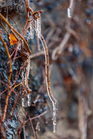 Nice icing. Close-up of a vertical branch of grapes completely covered with a thin layer of ice Reklamní fotografie