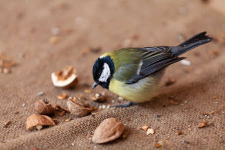 Poultry and nuts. Cute tit sits on burlap and pecks a split walnut close-up