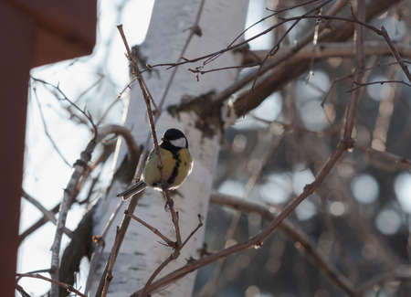 Bird on a tree. A cute tit sits on an inclined branch of a tree without leaves. Behind the trunk of a birch