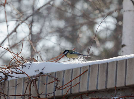 Bird on the fence. A cute tit sits on a stone fence covered with a layer of white snow