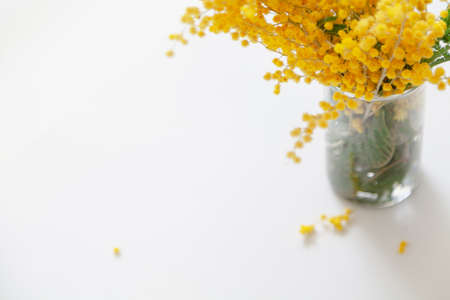 Mimosa bouquet. Branch of yellow mimosa in a glass vase on a white background. Fallen mimosa balls lie below