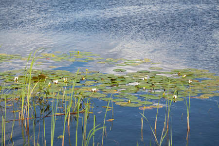 green leaves of the water lily float in the water. White and yellow flowers grow between them Stockfoto