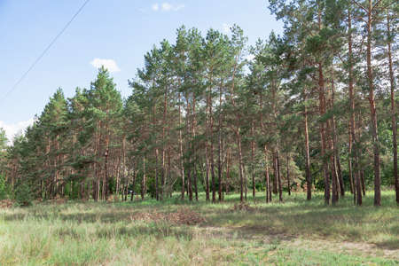 edge of a pine forest. Tall pine trees with thin light trunks grow against a blue sky. Green grass in the foreground