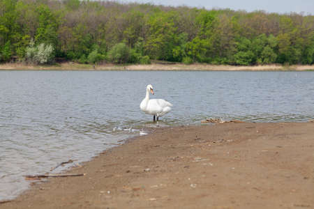 Swan on the sandy shore. A white swan stands on the sandy shore of a pond. Green trees grow on the far shore Stockfoto