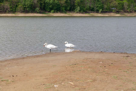 Swans on the sandy shore. Two white swans stand on the sandy shore of the pond
