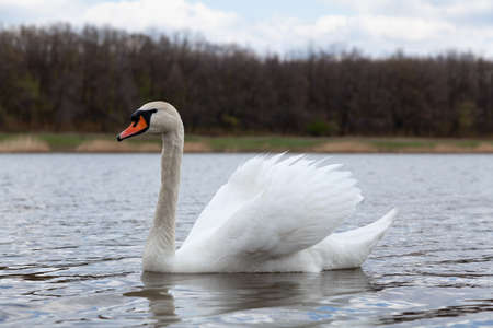 White swan swims on the water surface close-up. Trees without leaves grow on the far shore