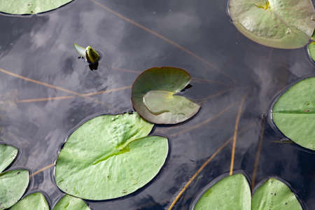 green leaves of the oval and round water lily float in the water. Nearby is a closed bud of a white flower. Long stems are visible. View from above Stockfoto