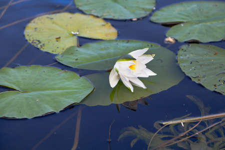 bud of a white water lily floats in the water. Nearby are green oval-shaped leaves. Long stems are visible. View from above. Close-up