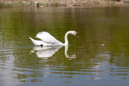 White swan floats on a smooth water surface