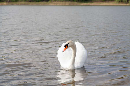 White swan stretches its long neck on the water surface