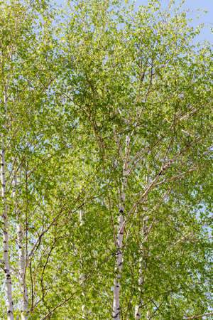 Beautiful landscape in a birch grove. The trunks of young birches stand side by side. Bright green leaves on a blue sky background