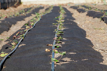 Neat long beds of strawberries covered with black agrofibre. Above are drip irrigation hoses. In the background there is a concrete fence Reklamní fotografie - 166470059
