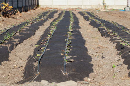 Neat long beds of strawberries covered with black agrofibre. Above are drip irrigation hoses. In the background there is a concrete fence