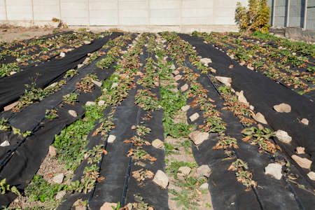 Long beds of strawberries covered with black agrofibre. The fabric is pressed against the stones. Above are drip irrigation hoses. In the background there is a concrete fence Reklamní fotografie - 166468527