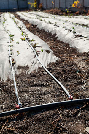 Modern technologies of drip irrigation. Drip irrigation hoses are laid in parallel on a long bed. In the foreground is the main water supply Reklamní fotografie
