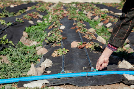 Long beds of strawberries covered with black agrofibre. The fabric is pressed against the stones. Hand opens the tap on the drip irrigation hose
