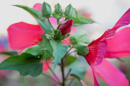 tightly compressed petals of a red flower emerge from a green bud. Hibiscus flowers open on both sides