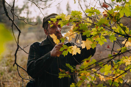 naturalist with a beard examines a large yellow maple leaf on a tree branch through a large magnifying glass on a bone handle Standard-Bild