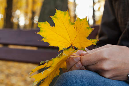 Autumn plot. Yellow maple leaves in the hands of a man sitting on a bench