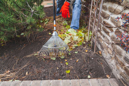 fan rake on a long handle collects fallen leaves of decorative grapes along a stone fence in autumn day Standard-Bild