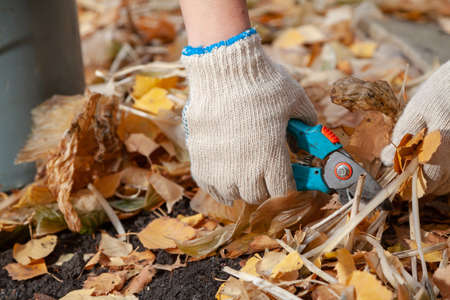 Hands in white gloves trim the yellow stems of the host plant with garden clippers closeup. Around the fallen birch leaves Standard-Bild