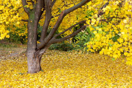 Yellow colors of autumn. A beautiful lonely tree with yellow leaves. There are many fallen yellow leaves under it