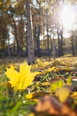beautiful large fallen yellow maple leaf lies on green grass in an autumn park. Birch table in the background Standard-Bild
