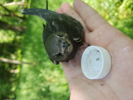 Portrait of a swift. A beautiful bird swift tower sits on the palm of a man and looks into the camera. There is a lid with water on the hand.